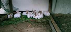 Breeder rabbits and bunnies