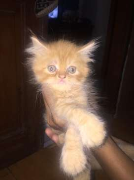 jual kucing persia medium peaknoes
