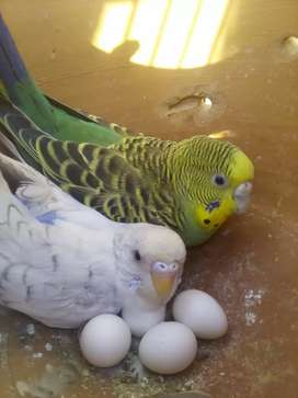 King size budgies pair with eggs