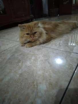 kucing persia orange peaknose jantan open adopt