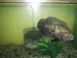 trained oscar fish