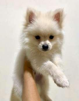 Anjing pomeranian JANTAN (stambum) lucu imut2