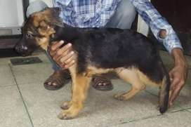Gsd male puppy's for sale