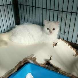 Kucing persia betina udah di kawin
