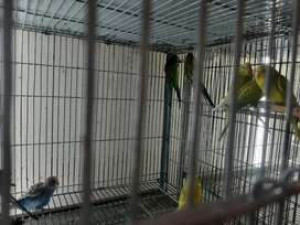 Australian Budgies Pathy looking for new shelter