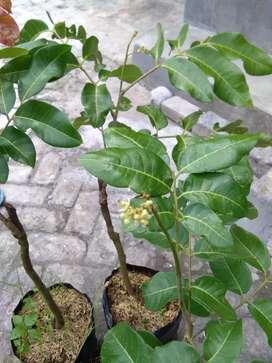 tanaman klengkeng matalada / hawai
