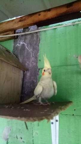 Falk / parkit australia / cockatiel umur 2 bulan