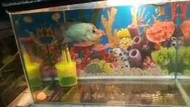 Blue Taies Florhorn fish