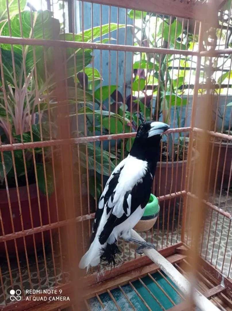 Jagal papua blorok