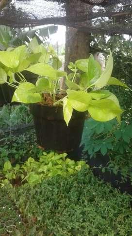 tanaman hias pot gantung sirih gading