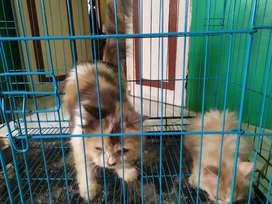 Lepas adopsi 2 kucing persia longhair