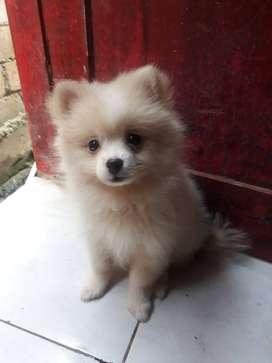 Anjing ras pomeranian jantan usia 3 bulan