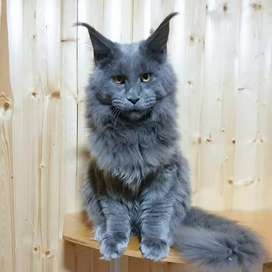 Cash on delivery Persian  kitten for sale