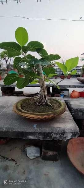 Selling plant bargad bonsai