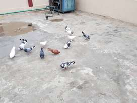 Lovely fency pigeons