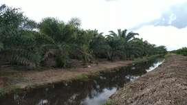 D jual tanah kebun sawit dg luas 2 hektar setengah,lokasi strategis