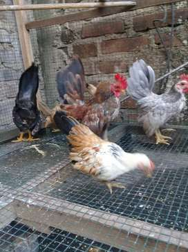 Ayam serama selam remaja