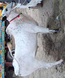 Bull 3 year age color white