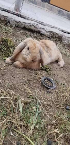 Holland lop and gaint angora pairs
