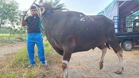 sedia sapi bali qurban super berat 390kilo over faktur- banyak pilihan