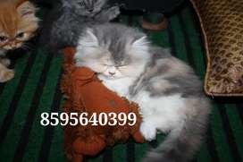 Energetic Fluffy Persian Kittens and Cats Available