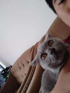 Kucing British Short Hair Female