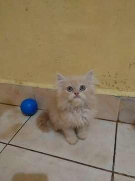 Kitten anakan persia imut jantan flatnose gembul bulu super panjang