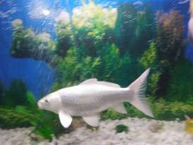 White Fish 8 inch long