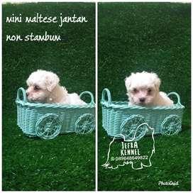 anjing maltese jantan non stambum jefra petshop