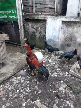 Ayam bangkok kualitas produkan tra jawara