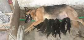 German shepherd female breader 7 puppies 3 Male 4 female 17 days