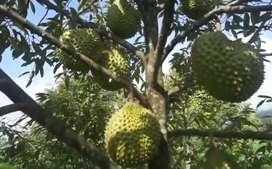 Bibit pohon durian malaysia Rp 1800000