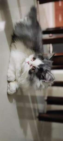Persian kitten 60 days (male female pair)