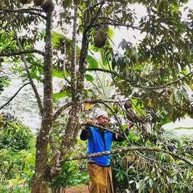 Durian Bawor kualitas super