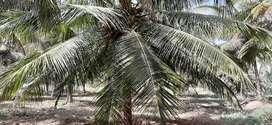 Coconut farm/ agricultural land/ agriland/ farm land/ farm house