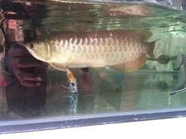 Arwana rtg 24 cm murmer