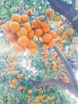 Fruits tree whole sale price .