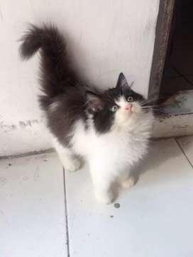 Kitten persia jantan gembul,chobby dan longhair
