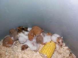 Sedia hamster syrian aneka warna kandang & perlengkapan