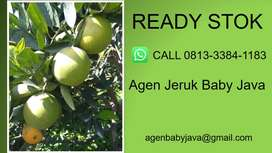 MASIH FRESH, Tengkulak Jeruk Baby Java Pariaman