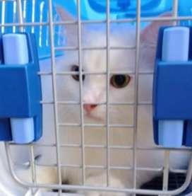 Kucing anggora persia