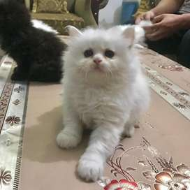 Triple coated persian cat and kittens