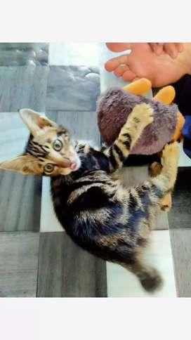 Kucing Marble (3 bln,  laki-laki,  cod Pontianak)
