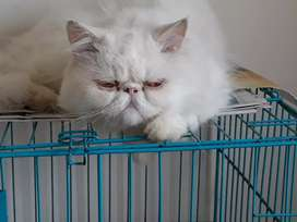 Arabic Persian Cat's Are Available in Himachal Pradesh