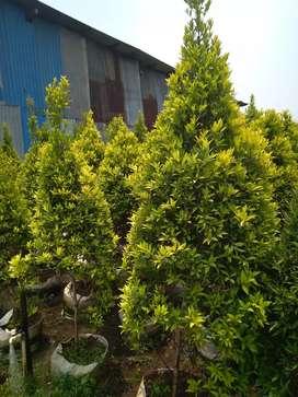 Pucuk golden pohon hias
