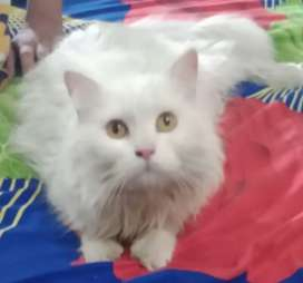 Persian cat for sale female. Triple coated.