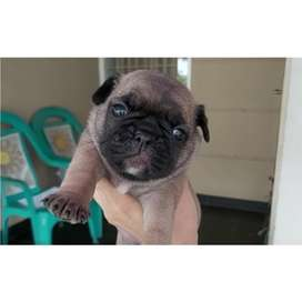 Open book puppies / anjing mix pug frenchie