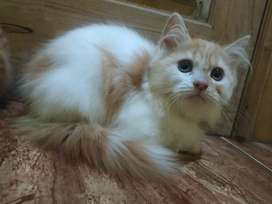 Kucing kitten Persia medium long hair bulu kapas, tulangan besar.