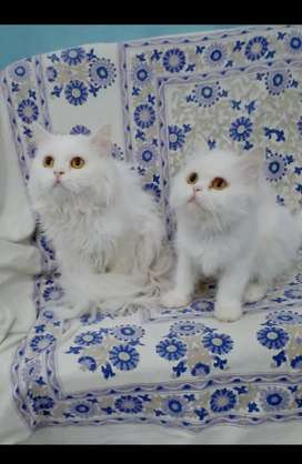 Pair of cat