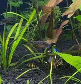Fish for planted tank